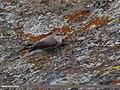 Wallcreeper (Tichodroma muraria) (32011364763).jpg