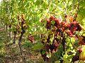 Wangen village viticole.jpg