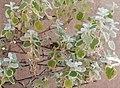 Wasp behavior - Helichrysum petiolare 2019 abc3.jpg