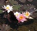 Water lilies (33214233981).jpg