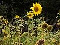 Waterlow sunflowers - geograph.org.uk - 1537907.jpg
