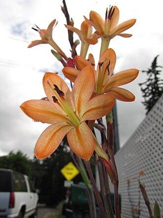 Watsonia meriana - Image: Watsoniameriana starr