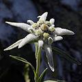 Wechsel - Ostalpen-Edelweiß am Niederwechsel I - Leontopodium alpinum.jpg