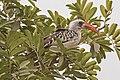 Western red-billed hornbill (Tockus kempi) male 2.jpg