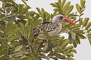 Western red-billed hornbill - Image: Western red billed hornbill (Tockus kempi) male 2
