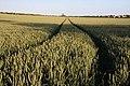 Wheat field near Higham - geograph.org.uk - 865406.jpg