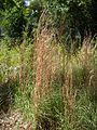 Whiskey grass (3127335921).jpg
