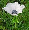 White-Anemone-coronaria-0011.jpg