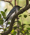 White-bellied Drongo (Dicrurus caerulescens) at Sindhrot near Vadodara, Gujrat Pix 073.jpg