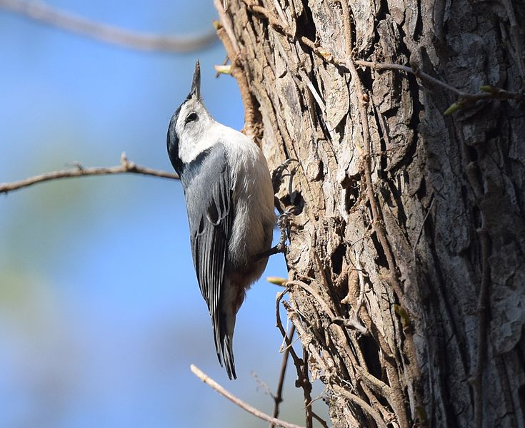 File:White-breasted Nuthatch (26371273575).jpg