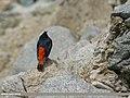 White-capped Redstart (Chaimarrornis leucocephalus) (49341798707).jpg