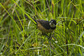 White-collared Seedeater - Mexico S4E9299 (23283873812).jpg