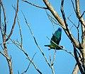 White-crowned Parrot Pionus senilis - Flickr - gailhampshire.jpg