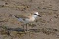 White-fronted plover (Charadrius marginatus) juvenile.jpg