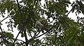 White-headed Wren Campylorhynchus albobrunneus (42051825185).jpg