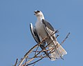 White-tailed Kite (38486492706).jpg