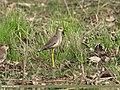 White-tailed Lapwing (Vanellus leucurus) (34338232390).jpg