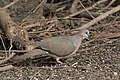 White-tipped Dove National Butterfly Center Mission TX 2018-02-28 15-32-25 (40620752492).jpg