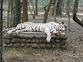 White Tigers at Bannerghatta National Park 4-24-2011 12-23-28 PM.JPG