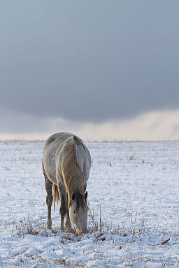 White horse, winter, Burtnieki, 2 Pets That Need Protection In The Winter