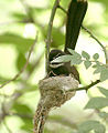 White throated Fantail I IMG 3036.jpg