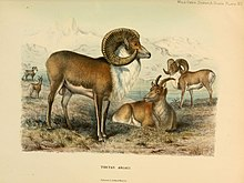 Wild oxen, sheep and goats of all lands, living and extinct (1898) (14562363777).jpg