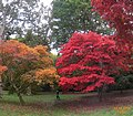 Windsor Great Park maples (32977085636).jpg