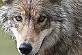 Wolf (5727649211).jpg