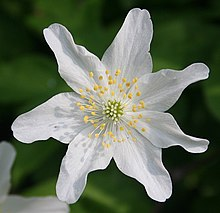 Wood Anemone or Wind Flower (Anemone nemorosa) - geograph.org.uk - 431709.jpg