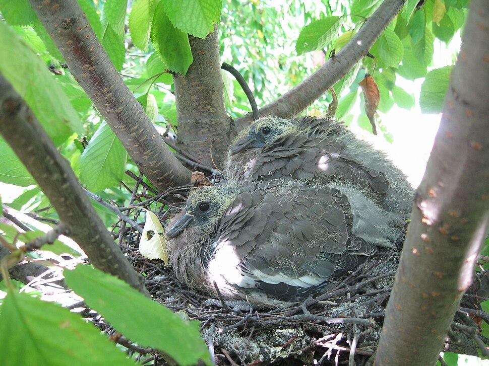 Wood Pigeon Nestling
