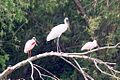 Wood Stork (immature) & Roseate Spoonbills (adult & immature)-Sabal Palm Bird Sanctuary-TX - 2015-05-21at10-07-238 (21609224535).jpg