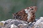 Woodland grayling (Hipparchia fagi) male underside Hungary.jpg