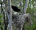 Woolly Neck Stork, Satpura Tiger Reserve, Madhai, Madhya Pradesh.jpg