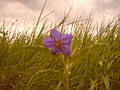 Wrecked Flower - panoramio.jpg
