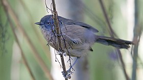 Wrentit - Whitehouse Pool - Marin - CA - 2015-10-20at10-04-013 (22819519621).jpg