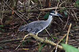 Yellow-crowned Night-heron2.jpg
