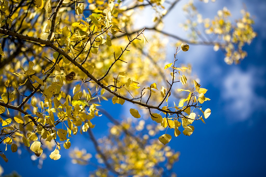 File:Yellow Aspen Leaves, Blue Sky - Fall Colors at Rocky ...