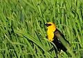 Yellow Headed Blackbird on Seedskadee National Wildlife Refuge (27509940525).jpg