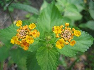 Blooming Yellow Lantana