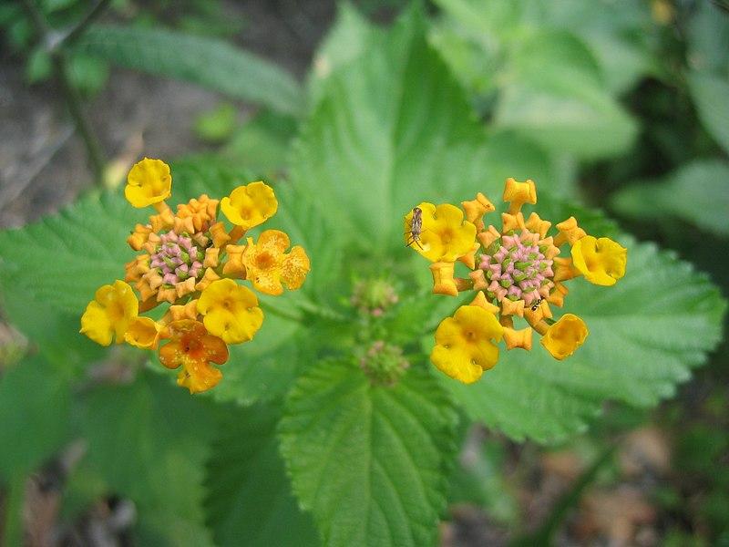 File:Yellow Lantana Camara 1.JPG