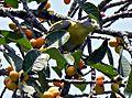 Yellow Pigeon.jpg