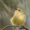 Yellow thornbill.jpg