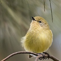 Yellow thornbill.jpg