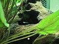 Young poecilia reticulata.JPG