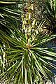 Yucca aloifolia in Jardin des Plantes de Toulouse 01.jpg