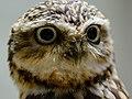 Zürich Zoo Burrowing Owl (16314216256).jpg