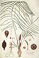 Zamia angustifolia.jpg