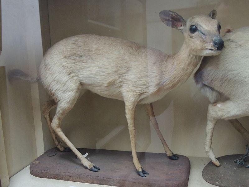 File:Zanzibar Suni Antelope.JPG
