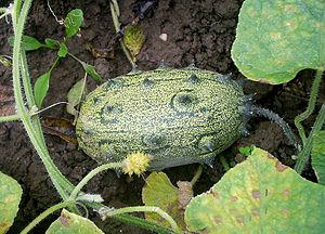 Cucumis metuliferus - Image: Zeleno
