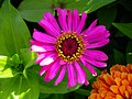 Zinnia Flowers گل آهاری 06.jpg